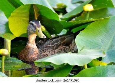 Wild female duck among yellow water lilies