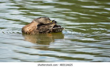 Wild female duck washing herself in the pond
