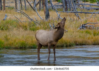Wild Female Elk pausing Midstream while Crossing Madison River in Yellowstone