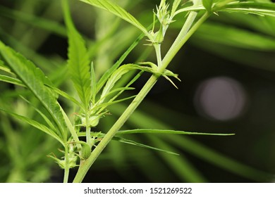 The wild female hemp (Cannabis sativa) plant medical cannabis in nature with blur background. Here you can see the wild cannabis bud or fruit or enclosed in hairy bract. Thailand. Close-up.
