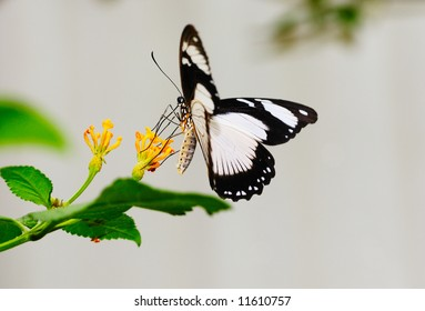 Wild female Papilio Dardanus butterfly feeding on yellow flowers