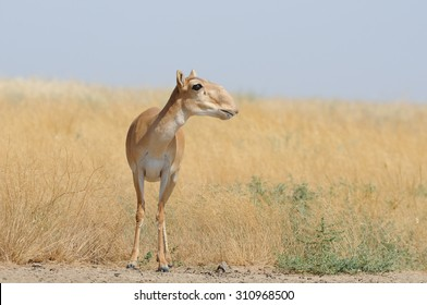 Wild female Saiga antelope (Saiga tatarica) in morning steppe. Federal nature reserve Mekletinskii, Kalmykia, Russia, August, 2015