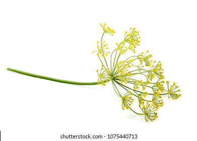Wild fennel flower isolated on white background.
