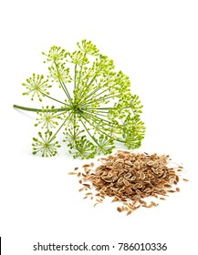 Wild fennel flowers with seeds closeup isolated on white background.