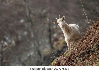 wild feral goats, capra hircus, female and kids, buck, billy, foraging, grazing on a slope in the cairngorms national park, scotland during February.