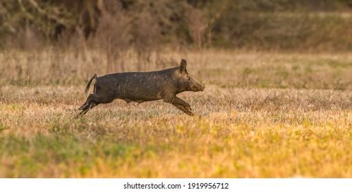 wild feral hog, pig or swine (sus scrofa) sow running in an open field in Florida