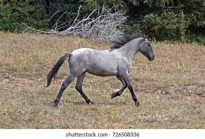 Wild Feral Horse - Blue Roan yearling mare running in the Pryor Mountains Wild Horse Range in Montana United States