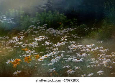 A wild field garden filled with white daisies.