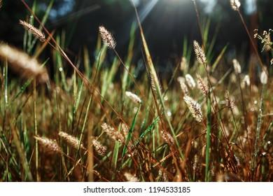 Wild field of grass on sunset, soft sun rays, warm tonight, lens flares
