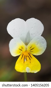 Wild field pansy (Viola arvensis), England, Europe. Wild pansies. White violet. Pure angelic white nature color.