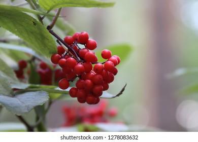 wild firest berries,  Kyivska oblast, Ukraine