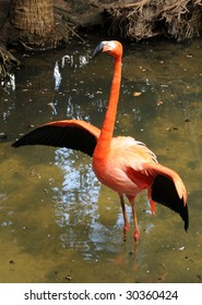 Wild flamingo in swamp with spreading wings
