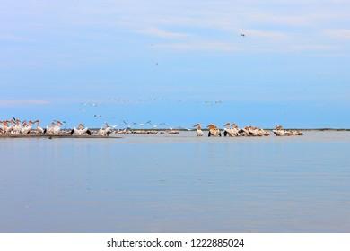 Wild flock of common great pelicans (pelecanus onocrotalus) on a sandy bar in Delta of Danube river at Danube biosphere reserve