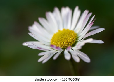 Wild flower Bellis perennis on the meadow. Known as Common daisy, Lawn daisy or English daisy. Small white flower blooming in the spring.