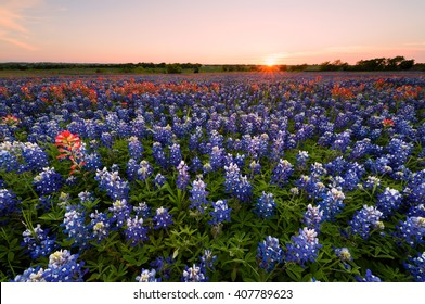 Wild flower Bluebonnet in Ennis City, Texas, USA, at sunset, dusk