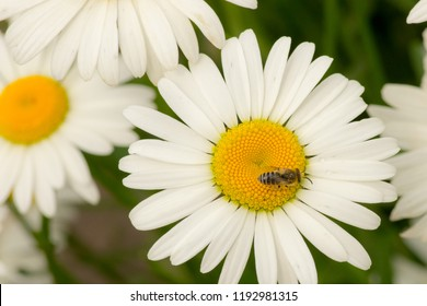 wild flower chamomile, bee collecting pollen