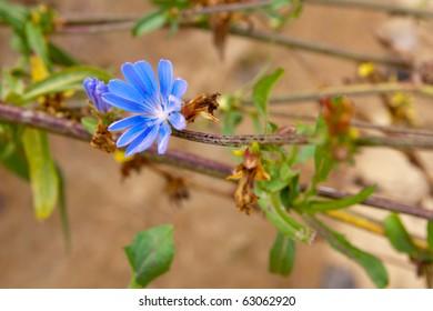 Wild flower of cichorium intybus