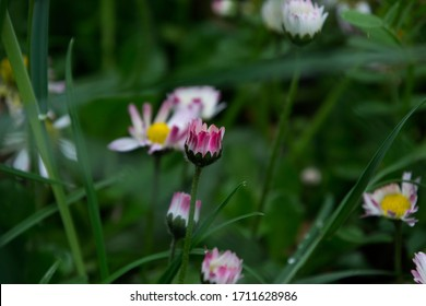 Wild flower, daisy at different times of flowering among the grass, Madrid, Spain