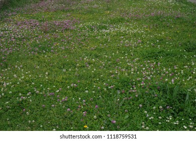 Wild flower field with red clover (Trifolium pratense), white clover (T. repens), Forget me not (Myosotis), daisies (Bellis perennis) after rain.