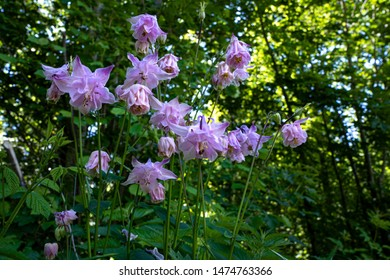 Wild flower with lilac pink blossoms in the forest - Aquilegia vulgaris - common columbine