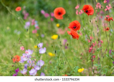 A wild flower meadow, poppies in the foreground, sways gently in a summer breeze