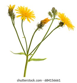 Wild flower -  Meadow Salsify isolated on white.