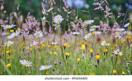 Wild Flower Meadow in the Sussex High Weald