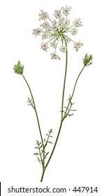 Wild flower plant, Queen Ann's Laces