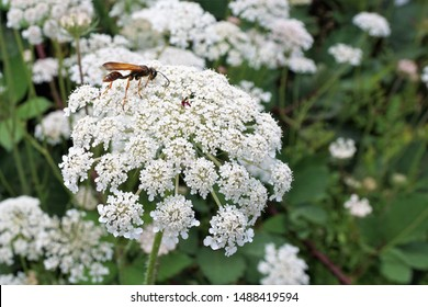 Wild Flower Queen Anne's Lace White Globe Floral Proper name Daucus carota with insect