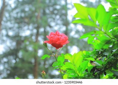 wild flower, red rose in florest
