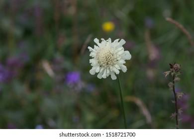 Wild flower white Scabiosa ochroleuca.
