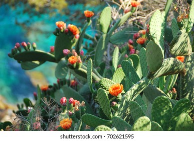 Wild flowering cactus in Spain