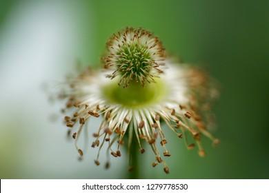 wild flower(Rubus hirsutus), macro shot