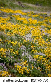 Wild flowers in the Boise foothills, Idaho