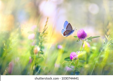 Wild flowers of clover and butterfly in a meadow in nature in the rays of sunlight in summer in the spring close-up of a macro. A picturesque colorful artistic image with a soft focus
