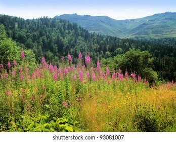 wild flowers, col de cere, cantal, auvergne, national park, massif central, france, europe, eu
