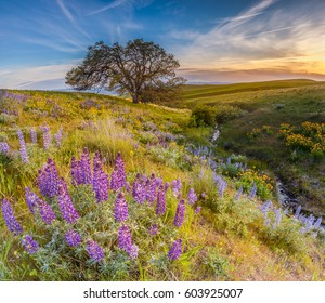 Wild flowers filed and dramatic sunset in Columbia hills state park, Washington with mount Hood in the background.