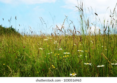 Wild flowers growing among long grasses in countryside beneath a blue sky with white cloud. Foreground contains margeurite daisies.(chrysanthemums).  Summer day in June.