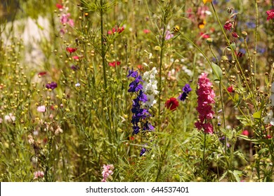 Wild flowers including daphnia, poppies and sweet pea in spring in a botanical garden.