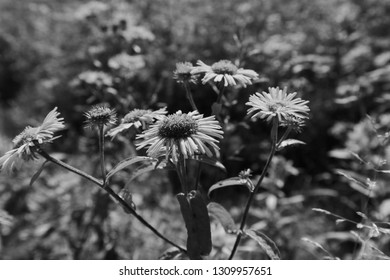 Wild flowers. Inula helenium or Inula britannica (Asteraceae) black and white photography