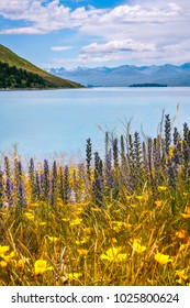 Wild Flowers at Lake Tekapo on a beautiful summer day, Canterbury Region, New Zealand, South Island.