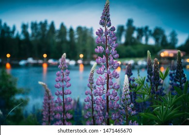 Wild Flowers Lupine In Summer Meadow Near Lake At Evening Night. Lupinus, Commonly Known As Lupin Or Lupine, Is A Genus Of Flowering Plants In The Legume Family, Fabaceae. Swedish Nature, Scandinavia.