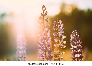 Wild Flowers Lupine In Summer Meadow At Sunset Sunrise. Lupinus, Commonly Known As Lupin Or Lupine, Is A Genus Of Flowering Plants In Legume Family, Fabaceae.