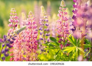 wild flowers lupins in sunlight, summer background.