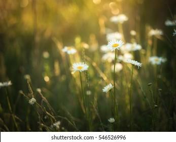 Wild flowers in morning light