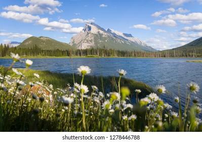 Wild flowers, Mt Rundle, Vermillion Lake, Banff National Park, Alberta, Canada