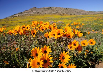 Wild Flowers - Namaqualand, South Africa