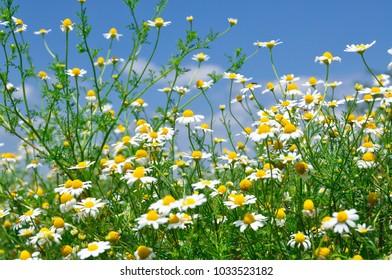 Wild flowers on blue sky background
