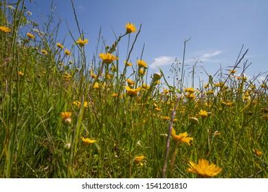 Wild flowers on a field, Dartmouth, Devon
