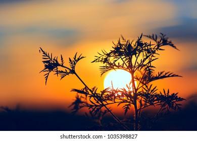 wild flowers on red sunset nackground